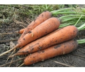 Морковь с грядки